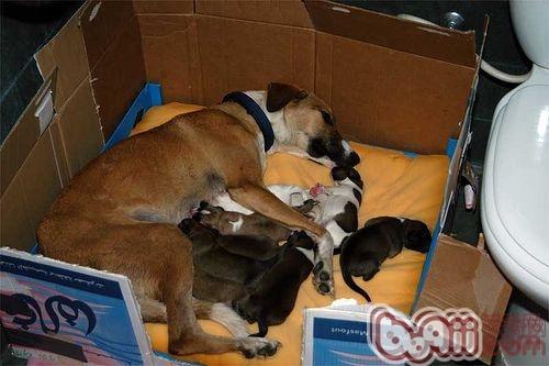 母犬分娩过程全程解析