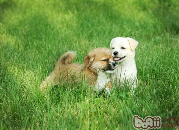 预防狗狗螨虫及因螨虫患皮肤病的治疗方法