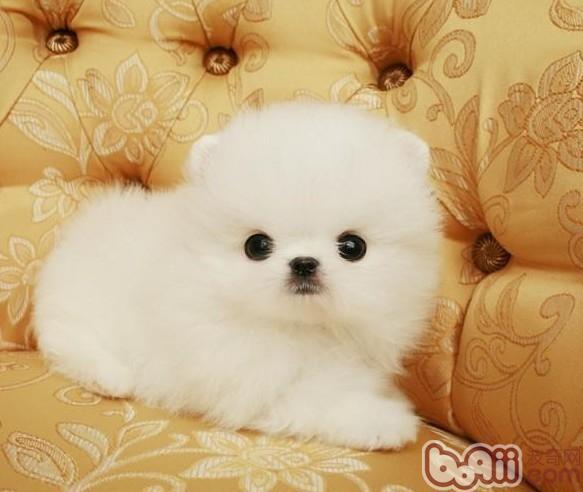 幼犬为什么容易得犬瘟和细小