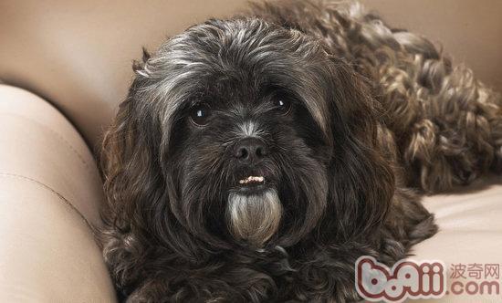宠物狗狗牙周炎的症状及治疗