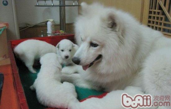 生完狗狗之后母犬的营养护理