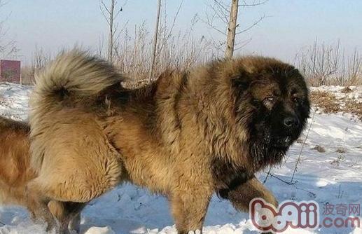高加索犬绝育后会出现的问题