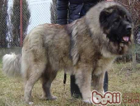高加索犬有螨虫病怎么办