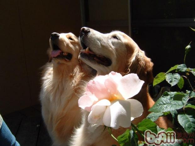 狗的髋关节疾病的保健治疗