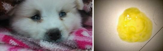 犬冠状病毒病的介绍和治疗