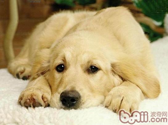 犬的分离焦虑症的原因及治疗
