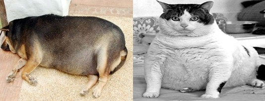 宠物肥胖,可怕的慢性病