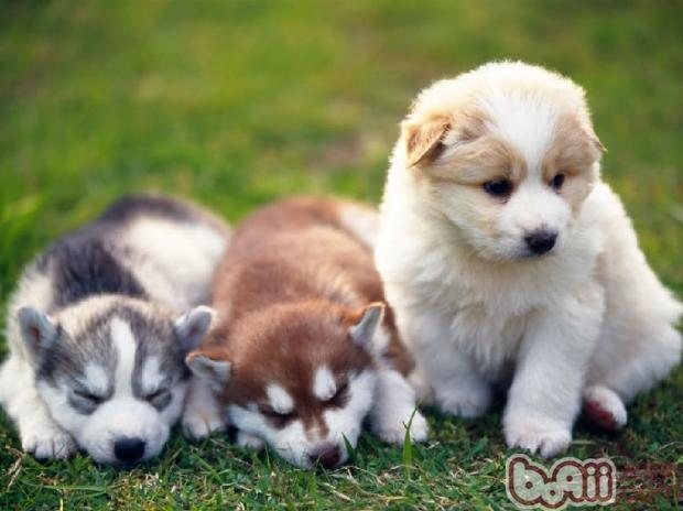 预防狗狗孕期流产知识