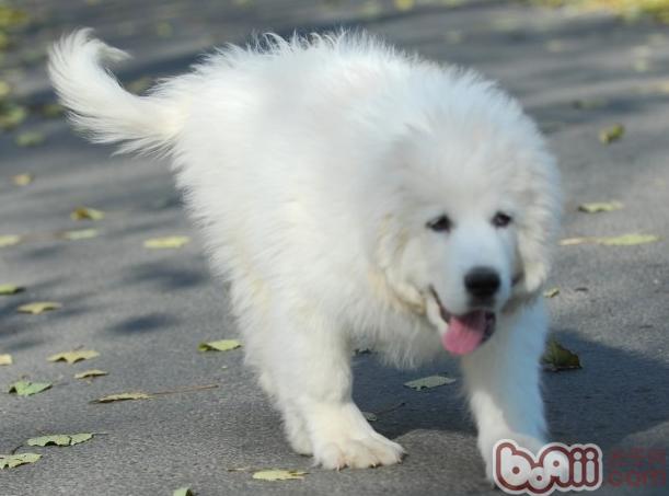大白熊怀孕期间身体变化