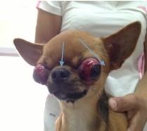 关于狗狗眼球脱出的病例分析