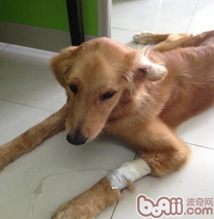 一例犬肠道异物导致死亡的病例分析