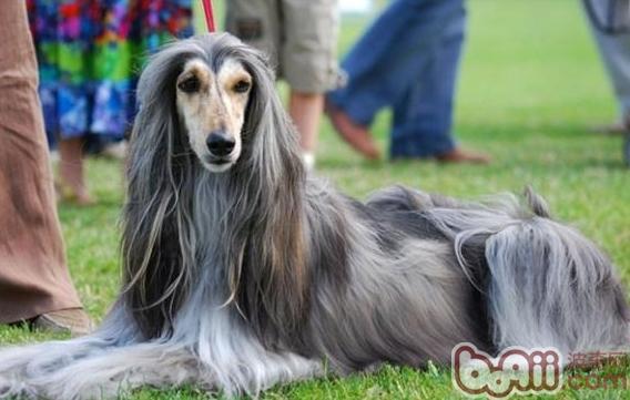 阿富汗犬发情期护理知识