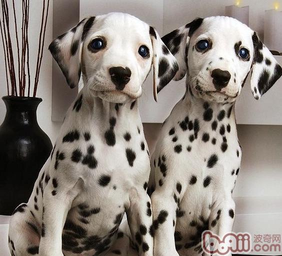 狗狗的维生素B族缺乏症
