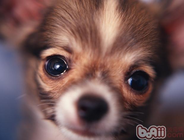 狗狗易患的口腔疾病