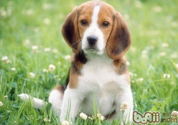 狗狗消瘦的原因有哪些