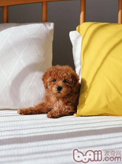 狗狗运动时咳嗽的原因