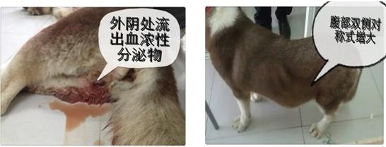 犬严重子宫蓄脓导致全身衰竭并死亡的病例