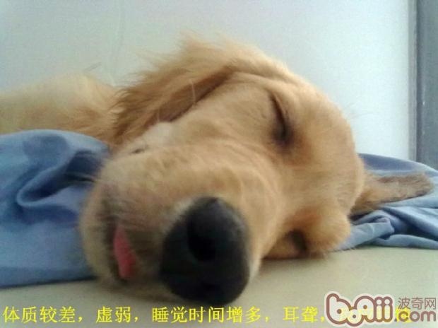 关于狗狗的老年痴呆症的症状