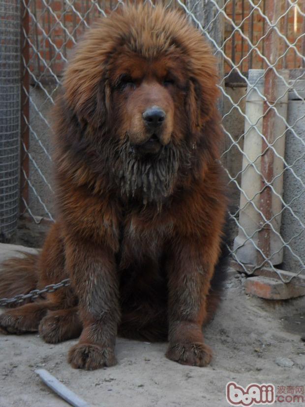 犬黄疸病病因诊断与防治