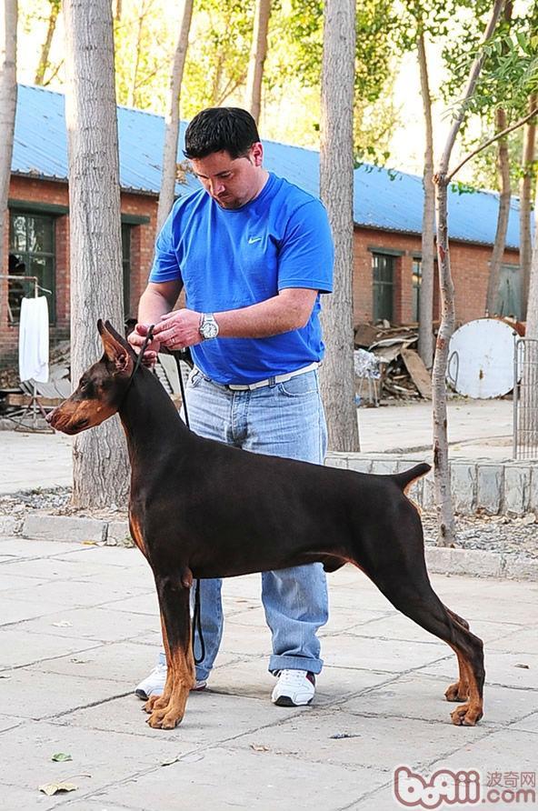 关于杜宾种母犬在繁殖中的地位