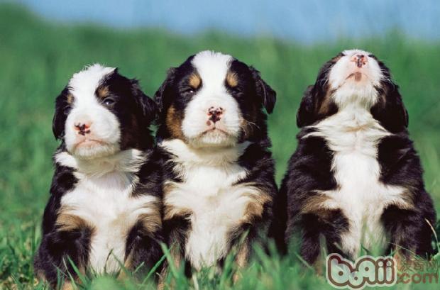 防治狗狗耳朵发炎的方法