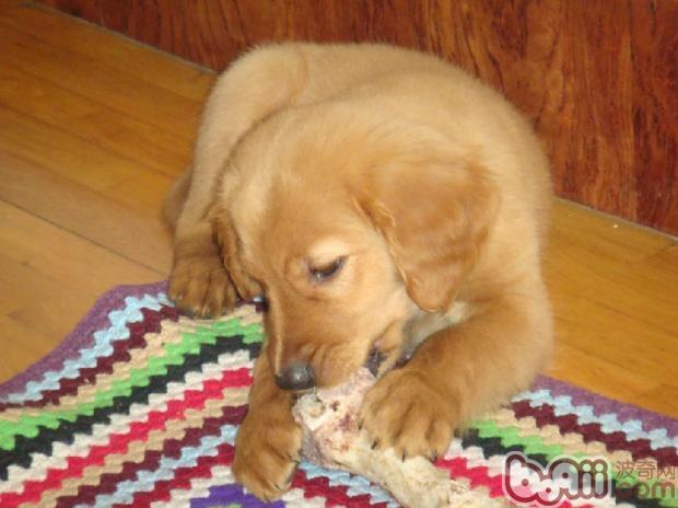 狗狗喜欢啃咬的原因分析