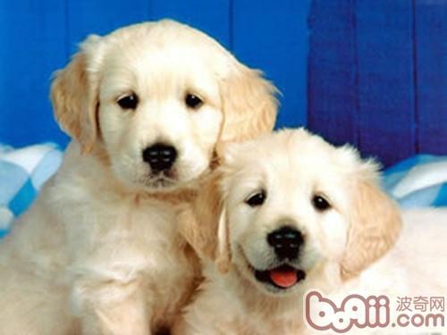 饲养狗狗应该注意的居家安全