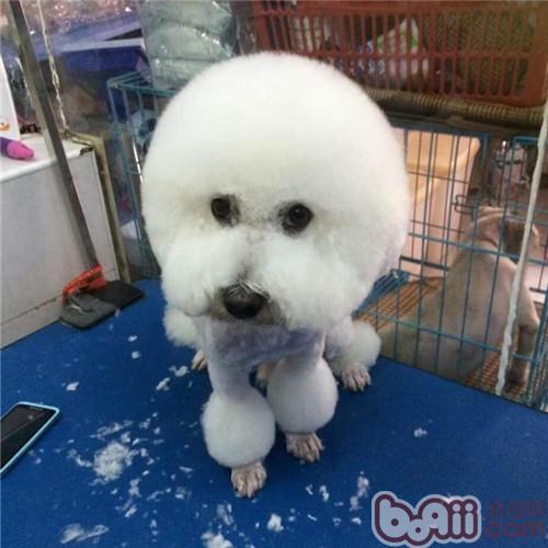 正确判断宠物狗掉毛与脱毛