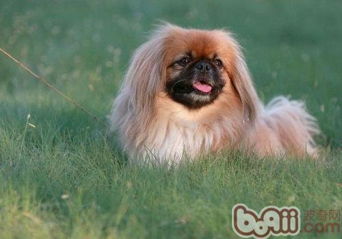 北京犬美容知识
