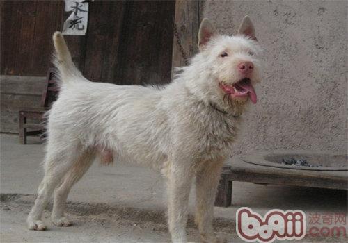 与德牧齐名的中国下司犬