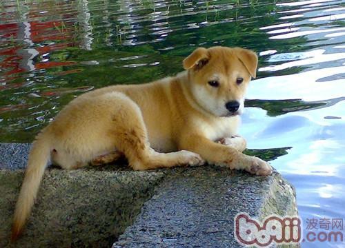 杂交犬的品种特色