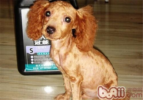 哪些狗适合剃毛