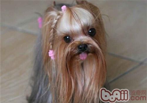 什么样的狗狗不适合穿衣服