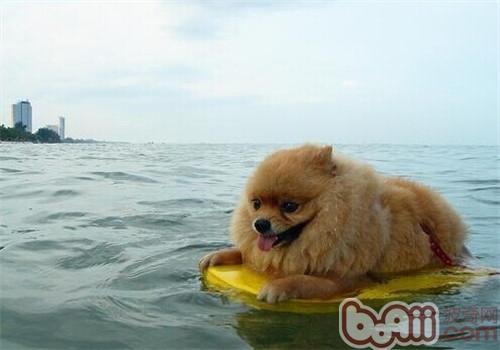 夏天带狗狗游泳需要注意哪些问题