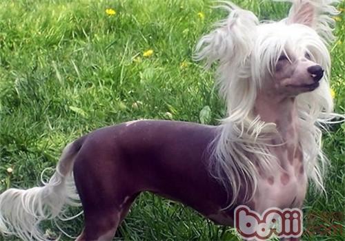 中国最丑狗之冠毛犬