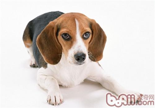 狗狗可以吃西红柿吗
