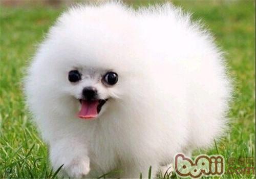 博美犬的品种简介