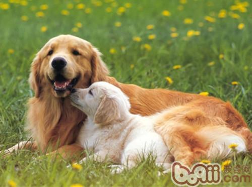 犬猫长期吃鸡肝可致病