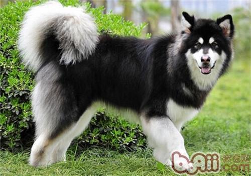 阿拉斯加雪橇犬的性格特点