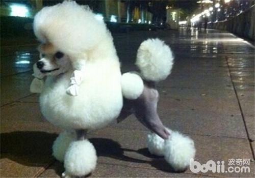 贵宾犬的形态特征