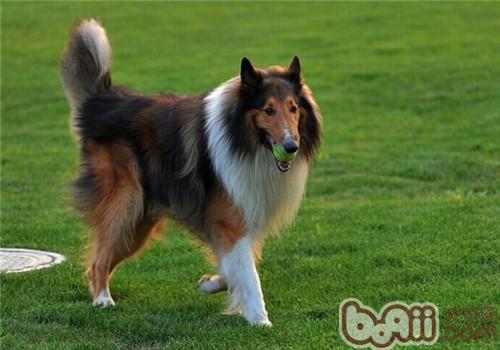 苏格兰牧羊犬的形态特征