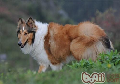 苏格兰牧羊犬的品种简介