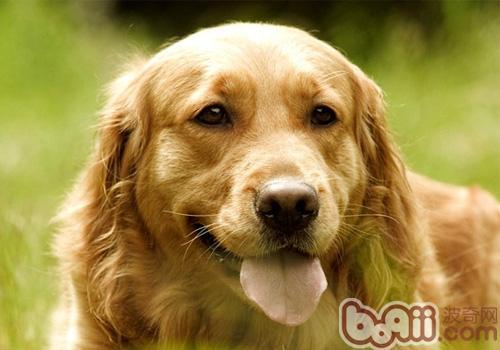 【测试】你家狗狗是否有挑食倾向