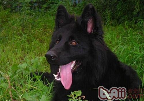 比利时格罗安达牧羊犬的品种简介