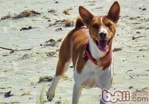 贝生吉犬的养护知识