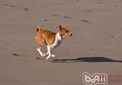 贝生吉犬的形态特征