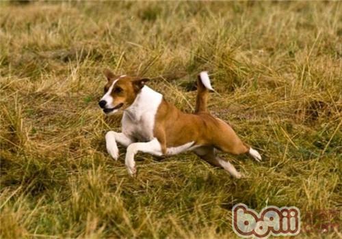 贝生吉犬的品种简介
