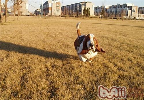 巴吉度猎犬的形态特征