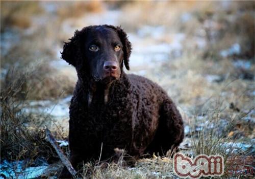 卷毛寻回猎犬的养护知识