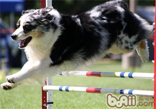 澳大利亚牧羊犬的形态特征